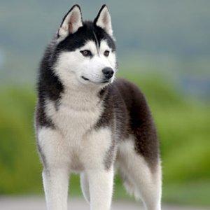Собака хаски чукча быль порода