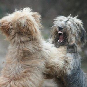 Как правильно разнимать дерущихся собак, собаки, драка, разнимать, не дать подраться собакам, успокоить собаку, собаки дерутся