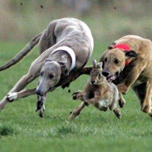 курсинг, спорт с собакой, правила курсинга, что такое курсинг